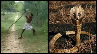 Read more about the article Vengeful Indian father kills King Cobra with bare hands to avenge son's death