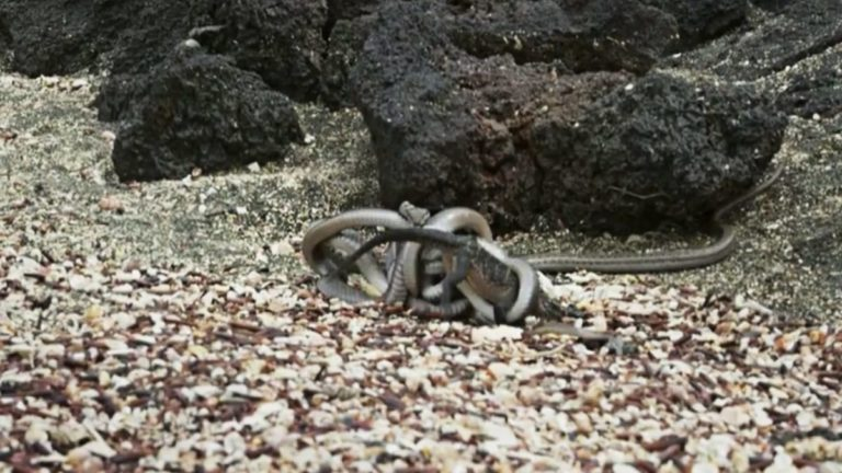 Read more about the article Iguana Vs The Racer Snakes Must Watch Video