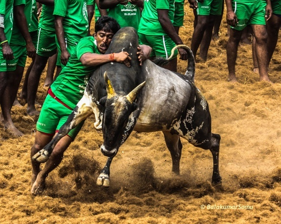 Read more about the article Why are so many Tamilians supporting #Jallikattu ? Here is a Well Written Article From Quora