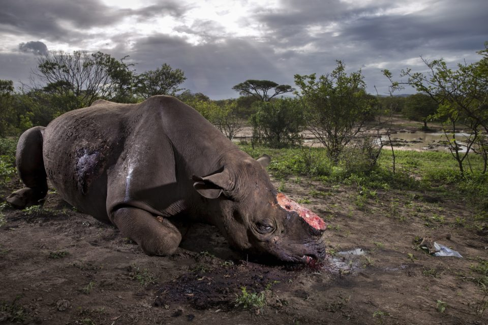 Rhino without its horn wins Wildlife Photographer of the Year prize